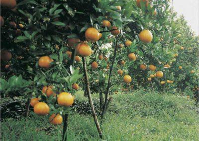 Muchas Mandarinas